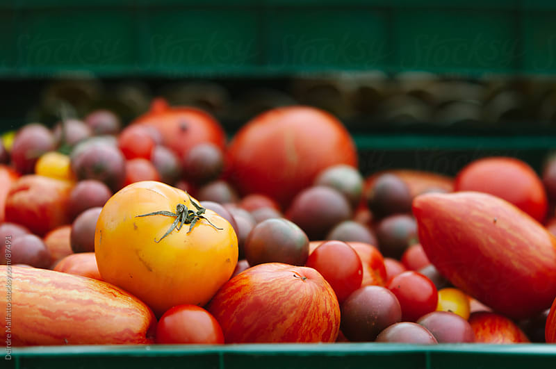 freshly harvested heirloom tomatoes in a crate by Deirdre Malfatto for Stocksy United