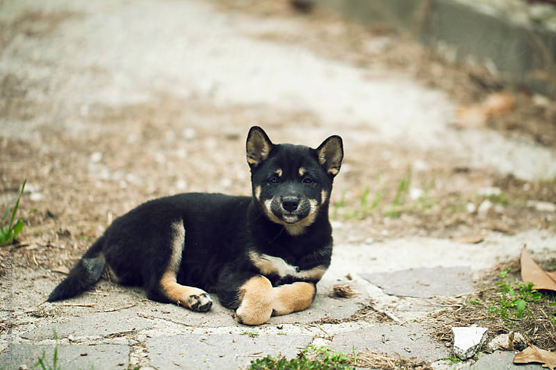 Shiba inu puppy lays in garden and looks straight at the camera with inquisitive eye by Laura Stolfi for Stocksy United