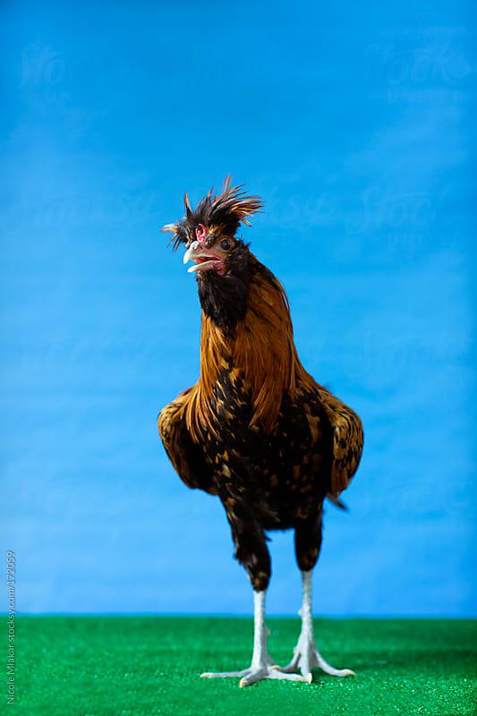 Chicken - Bantam by Nicole Mlakar for Stocksy United