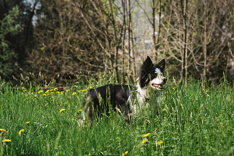 Border Collie dog in the grass by Simone Becchetti for Stocksy United