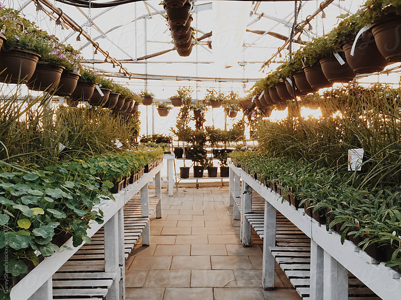 Inside of greenhouse lined with potted and hangin plants by Carey Shaw for Stocksy United