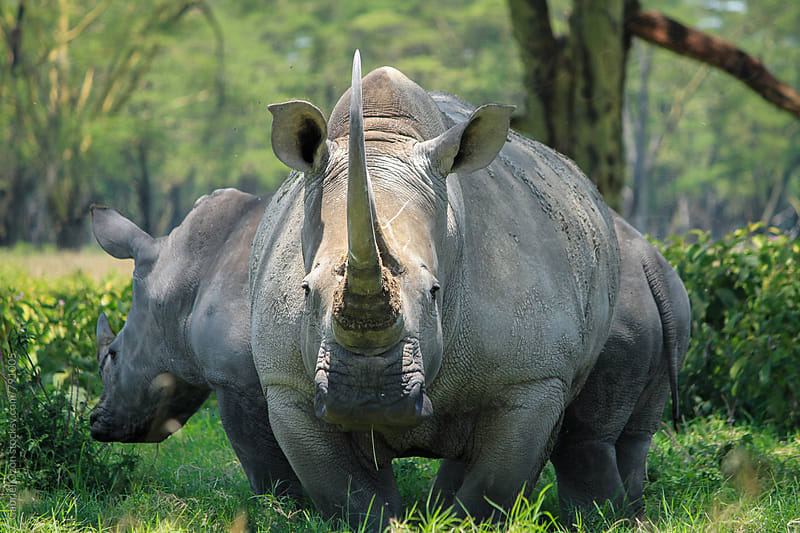 White rhino by Gabriel Ozon for Stocksy United