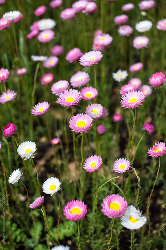 Pink paper daisy flowers by Jacqui Miller for Stocksy United