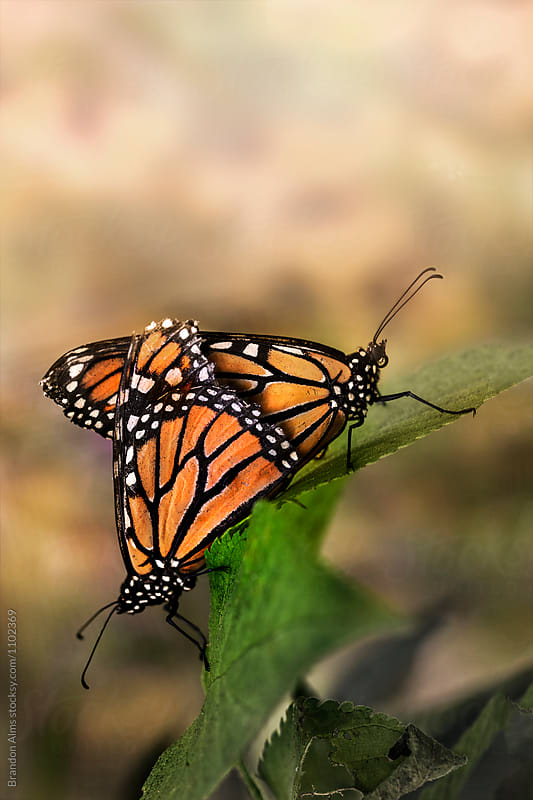 Mating Monarch Butterflies by Brandon Alms for Stocksy United