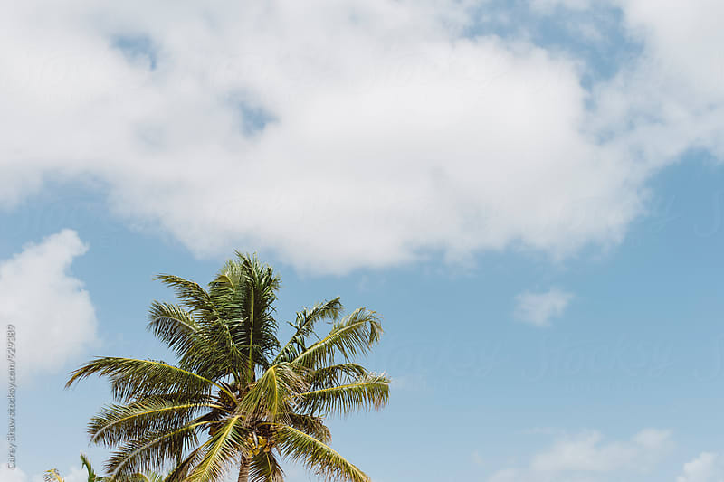 Palm tree against blue sky by Carey Shaw for Stocksy United
