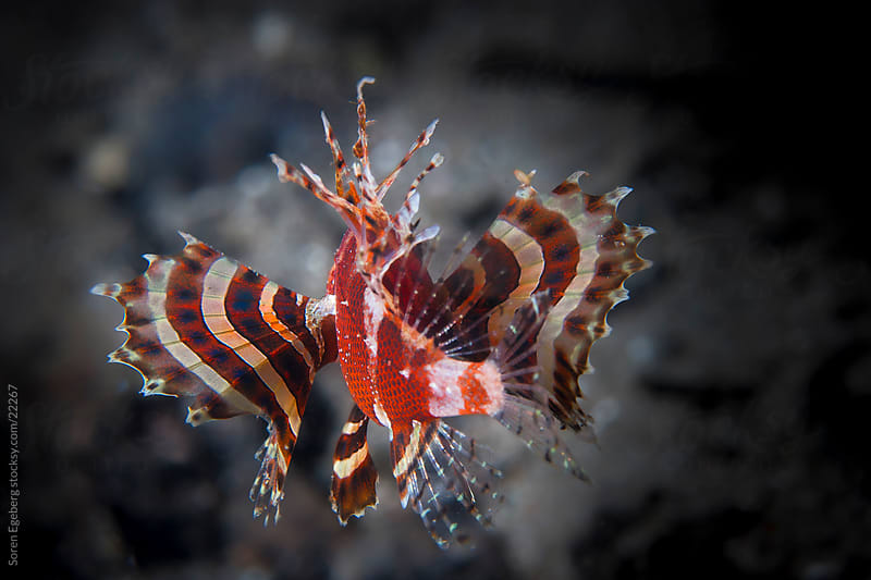 Red Dwarf Lion fish swimming on the coral reef  underwater in Indonesia by Soren Egeberg for Stocksy United