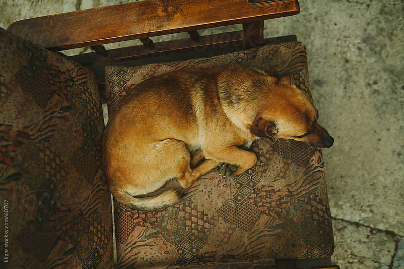 Dog sitting in an old armchair. by kkgas for Stocksy United