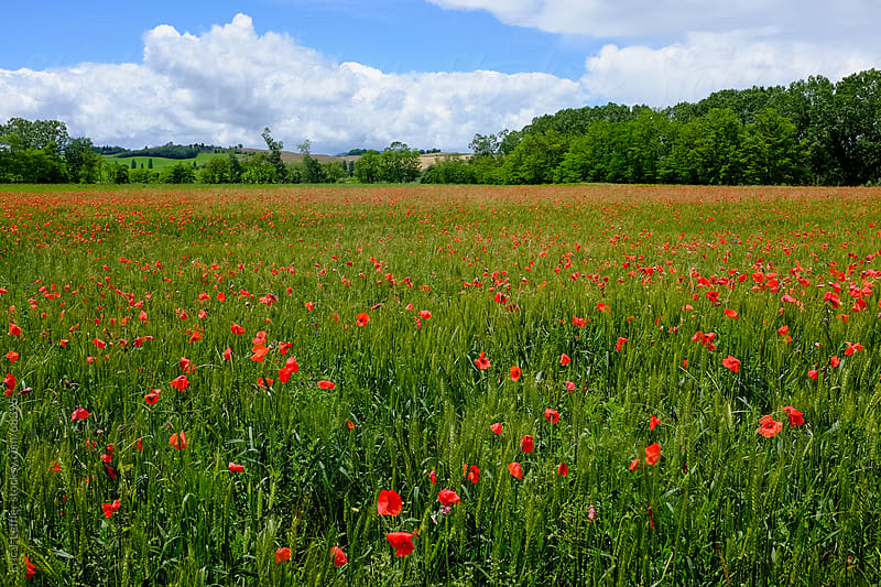 Field of Flowers in Tuscany by Eric James Leffler for Stocksy United
