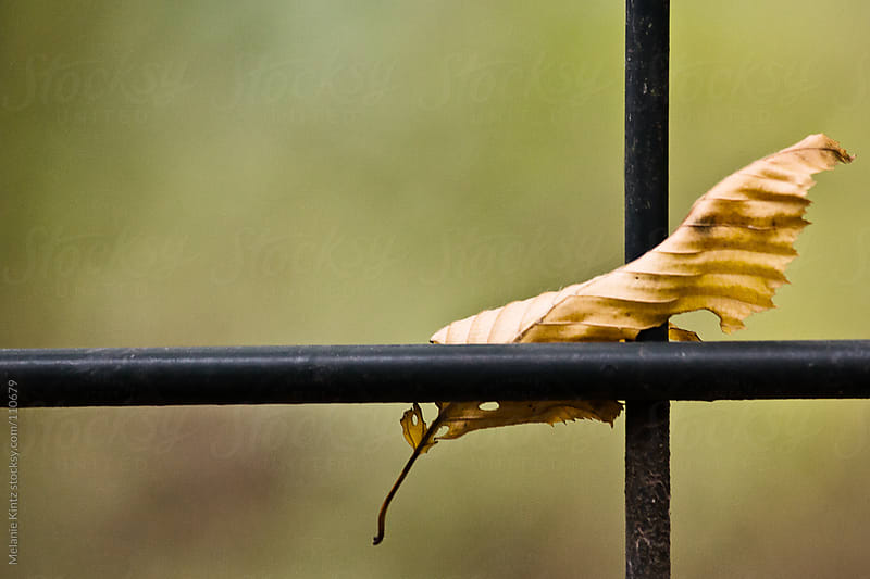 Brown wilted beech leaf stuck on a fence by Melanie Kintz for Stocksy United