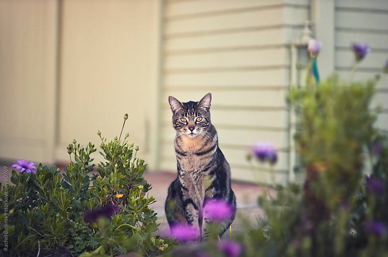A brown cats sits in the middle of a garden in front of a home by Rachel Bellinsky for Stocksy United