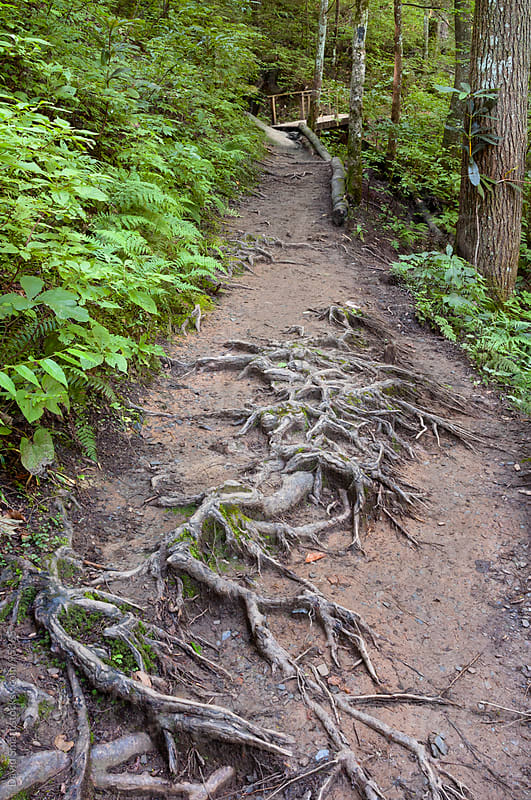 Hiking trail with exposed tree roots in the Joyce Kilmer Memorial Forest  by David Smart for Stocksy United