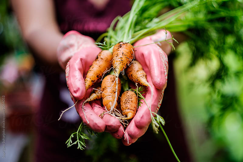 Harvesting organic carrots planted on a raised bed by Suprijono Suharjoto for Stocksy United