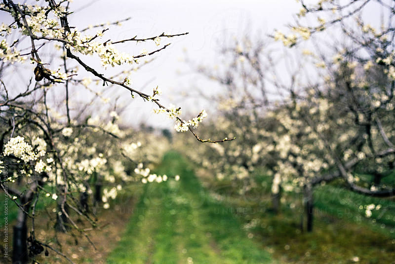 Apple blossom in an organic orchard by Helen Rushbrook for Stocksy United