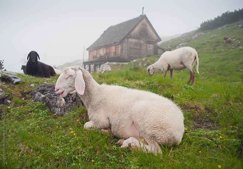 Alpine sheep. by Gergely Kishonthy for Stocksy United