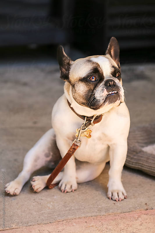 Adorable frech bulldog outside on a leash by Carolyn Lagattuta for Stocksy United