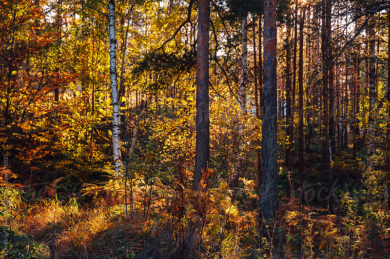 Sunny autumn afternoon in deciduous forest by Dimitrije Tanaskovic for Stocksy United