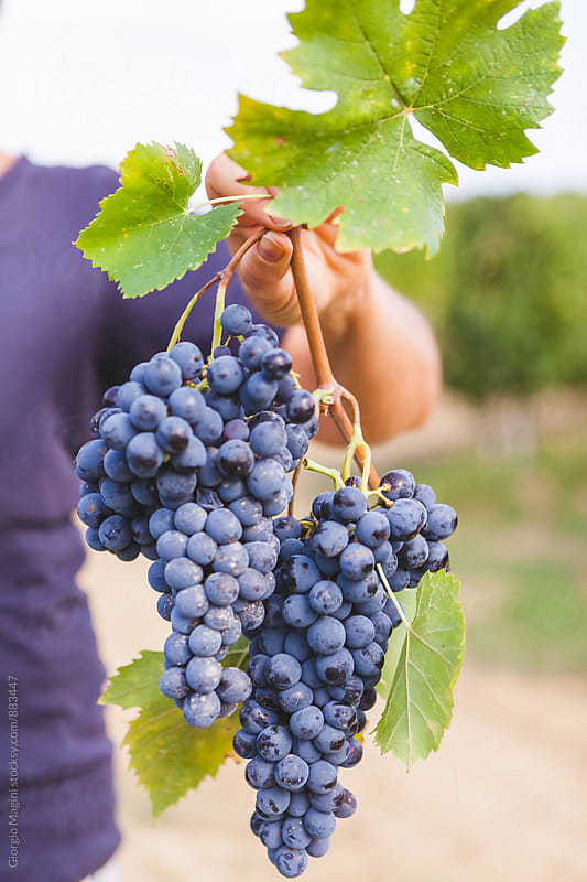 Hands Holding Ripe Grapes for Winemaking in Tuscany by Giorgio Magini for Stocksy United