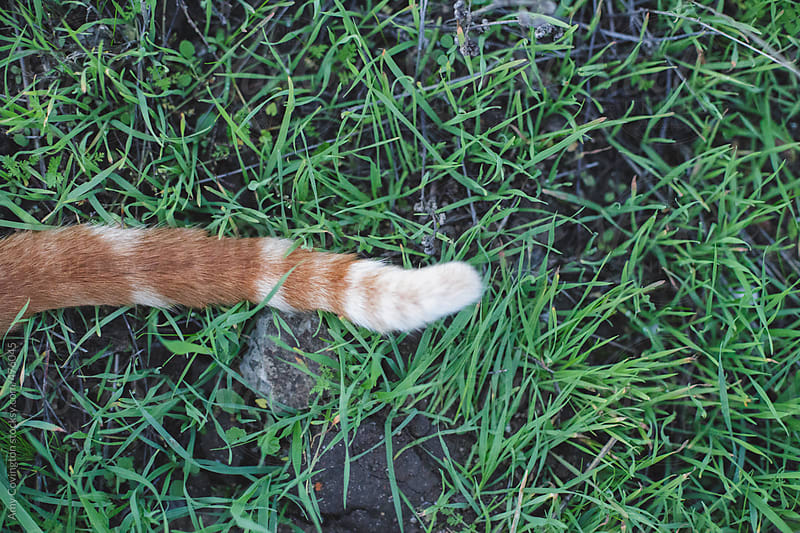 Orange striped tabby cat's tail by Amy Covington for Stocksy United
