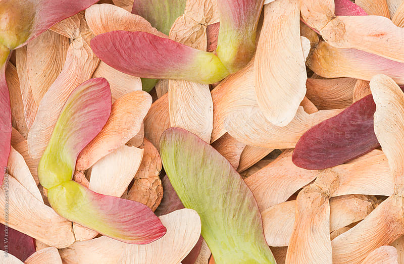 Japanese maple seedpods, closeup by Mark Windom for Stocksy United