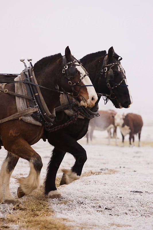 A pair of draft horses pull together in a field on a winter day by Tana Teel for Stocksy United