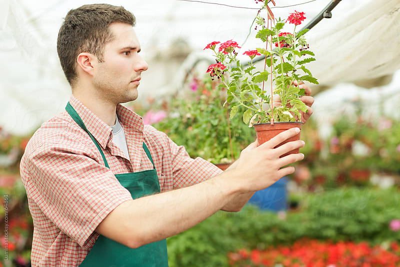 Man Arranging Flowers at a Nursery Garden by Lumina for Stocksy United