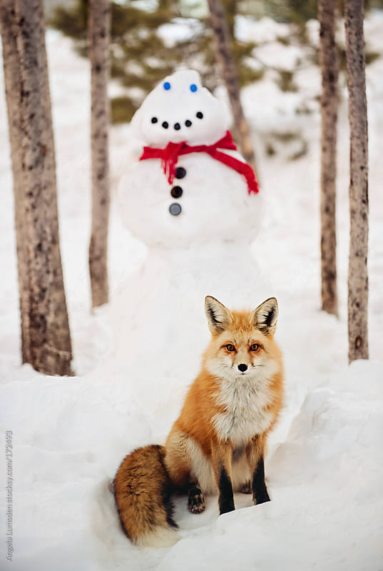 Red fox standing in snow by Angela Lumsden for Stocksy United