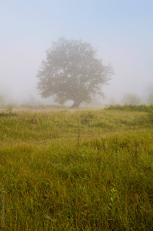 Old single oak tree in the middle of meadow. by Sveta SH for Stocksy United