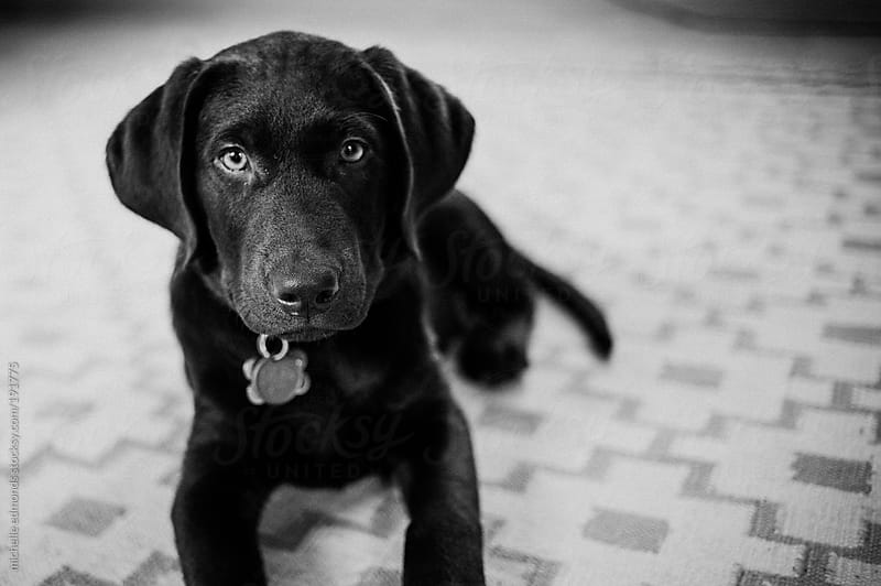 chocolate labrador retriever puppy by michelle edmonds for Stocksy United