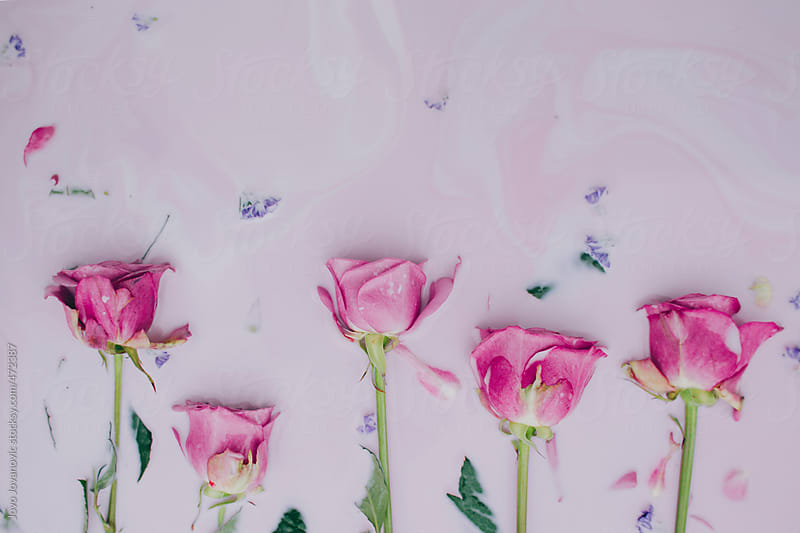 Pink roses immersed in pink colored milk by Jovo Jovanovic for Stocksy United