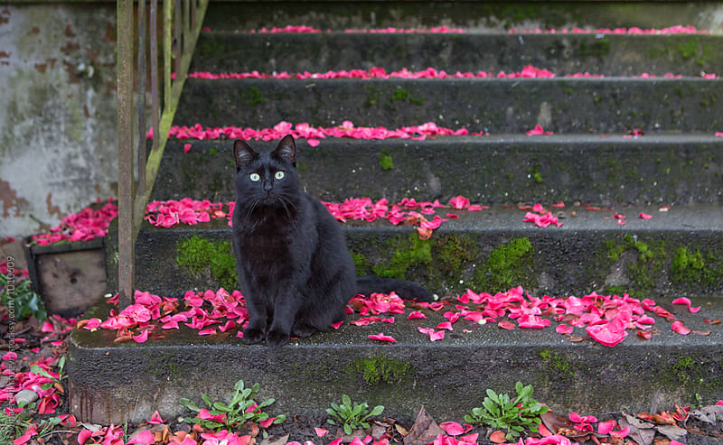 Black cat sitting on a flower petal covered concrete staircase looking at straight ahead by Mihael Blikshteyn for Stocksy United