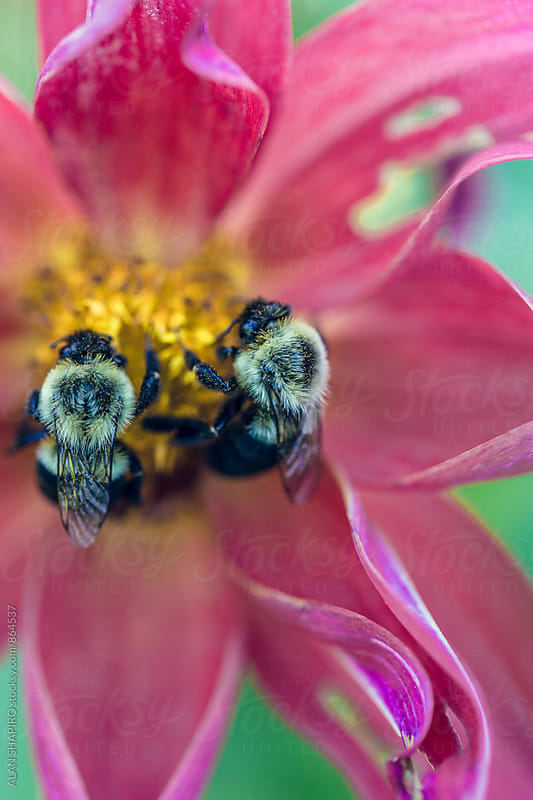 Bees and dahlia by alan shapiro for Stocksy United
