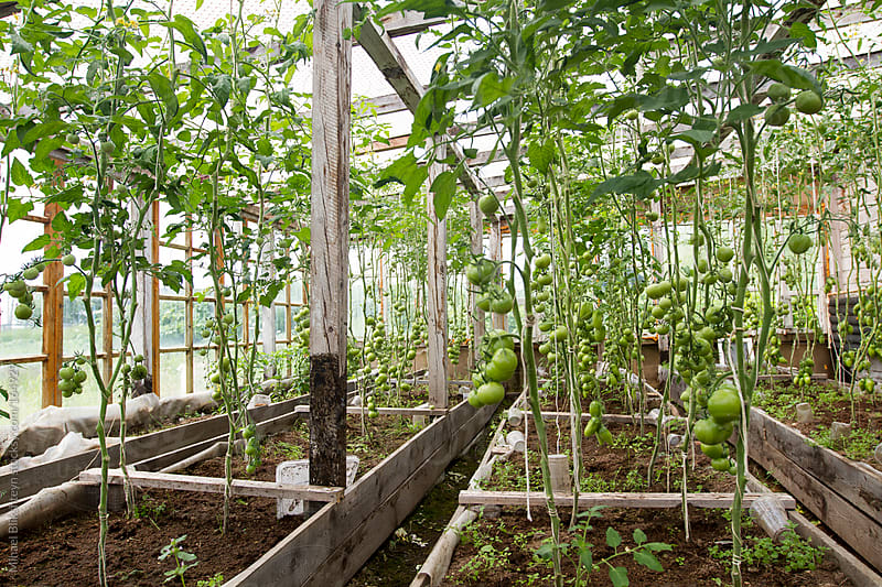 Old wooden greenhouse with green tomatoes on vines by Mihael Blikshteyn for Stocksy United