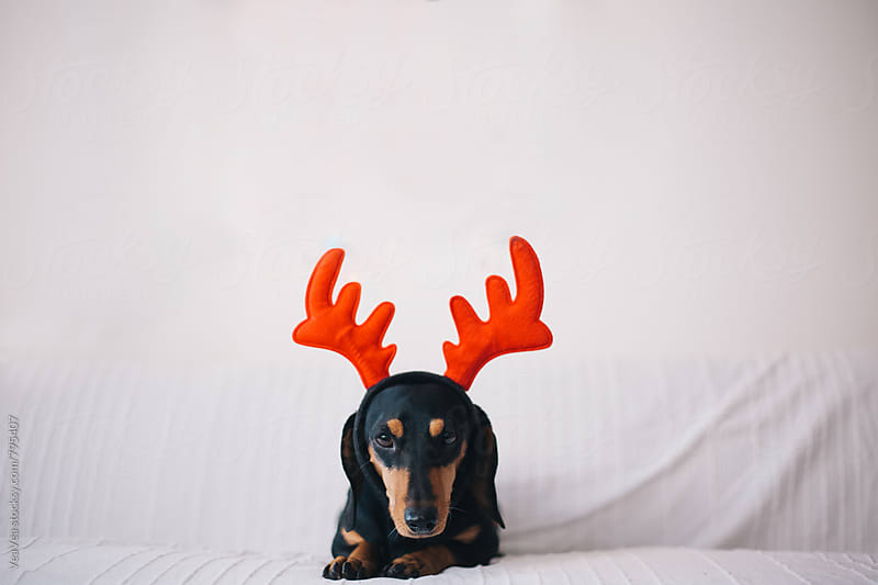Adorable dachshund waiting for Christmas  by Marija Mandic for Stocksy United