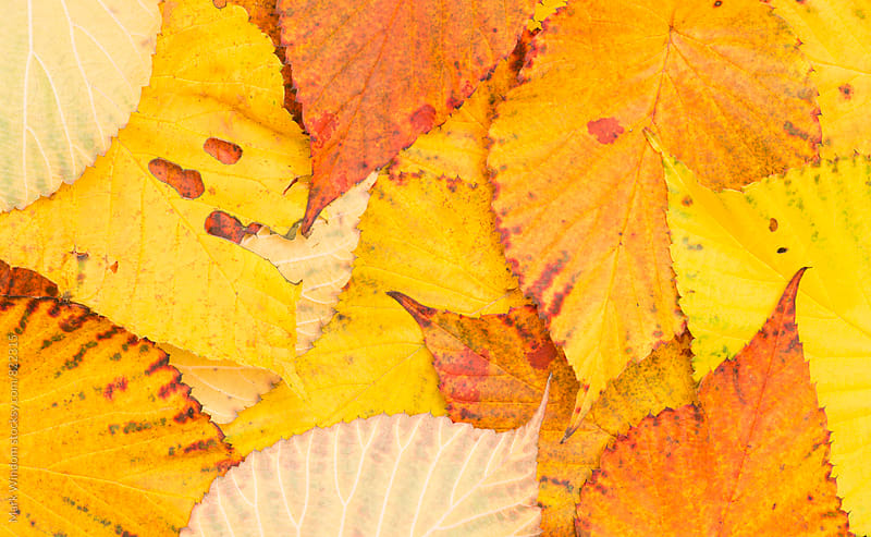 Davidia leaves in Autumn by Mark Windom for Stocksy United
