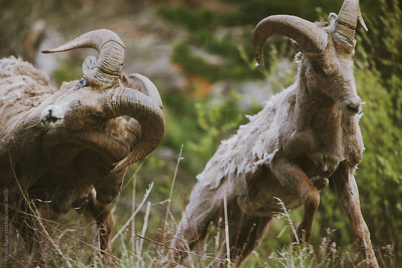 Battering Bighorn Sheep by Kevin Russ for Stocksy United