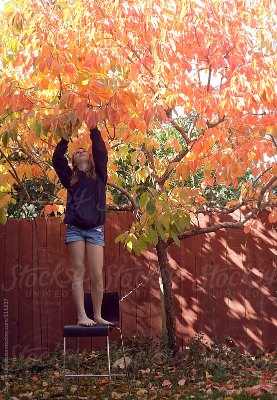 Young girl on a chair reaching up to pick persimmons by Carolyn Lagattuta for Stocksy United