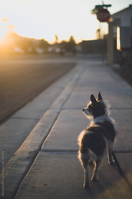 A small terrier dog looks into a setting sun during a walk by Rachel Bellinsky for Stocksy United