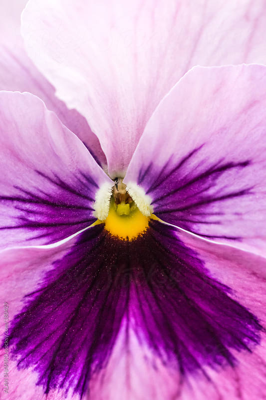 Pansy up close by ALAN SHAPIRO for Stocksy United