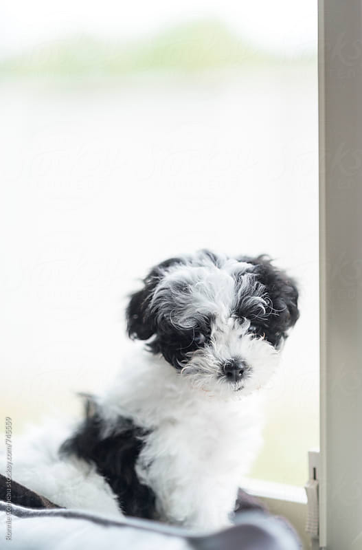 Tiny Puppy On Window Sill by Ronnie Comeau for Stocksy United