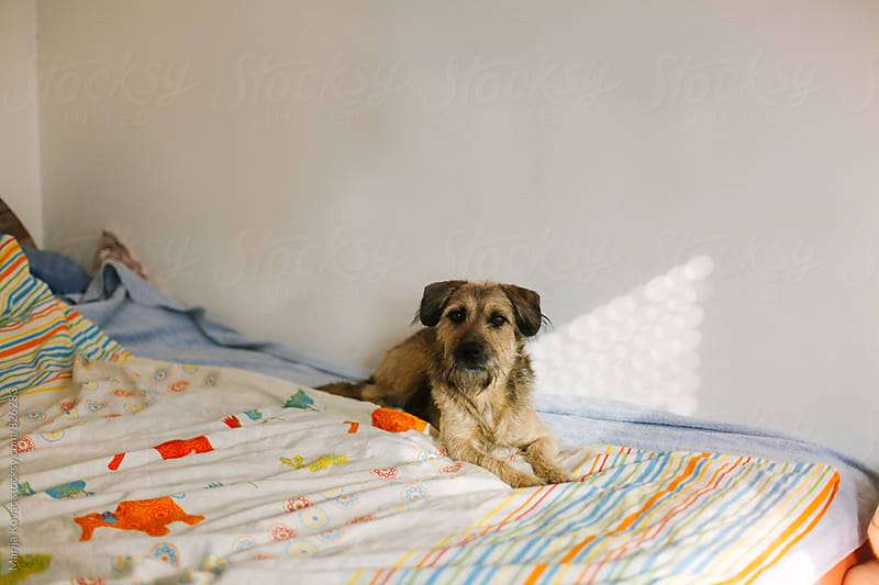 Half-breed dog lying on the bed - horizontal by Marija Kovac for Stocksy United