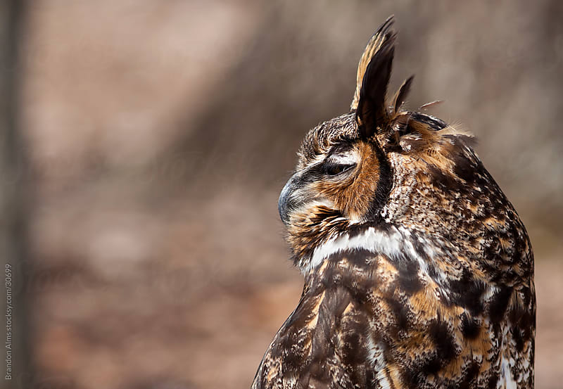 Great Horned Owl Closeup by Brandon Alms for Stocksy United