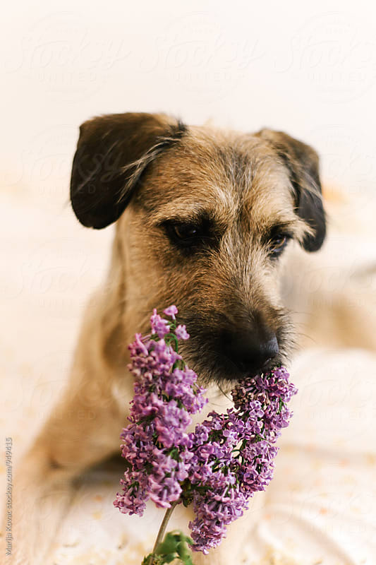 Cute dog smells lilac  by Marija Kovac for Stocksy United