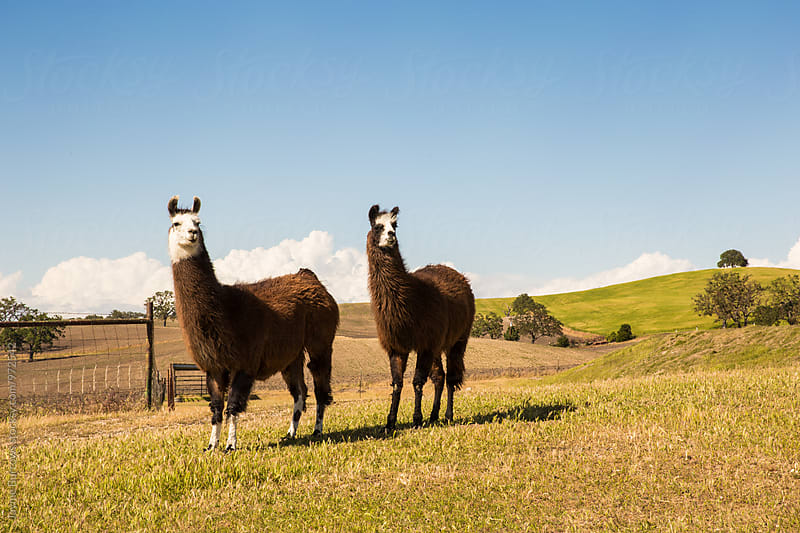 Two Alert Alpacas by Jayme Burrows for Stocksy United