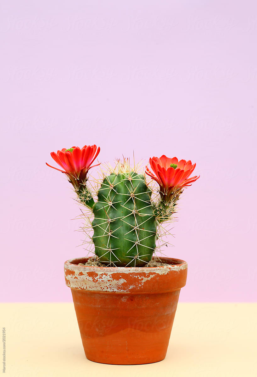 Cute Little Cactus With Big Red Flowers Stocksy United