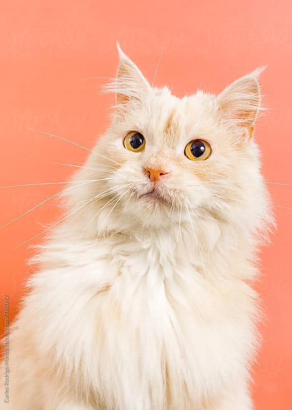 Cat portrait by Carles Rodrigo Monzo for Stocksy United