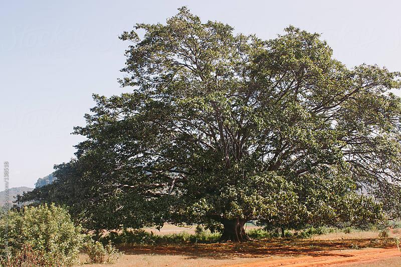 Burmese Tree by Matt Lief Anderson for Stocksy United