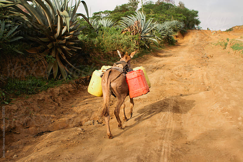 Donkey Carries Jugs by Jesse Morrow for Stocksy United