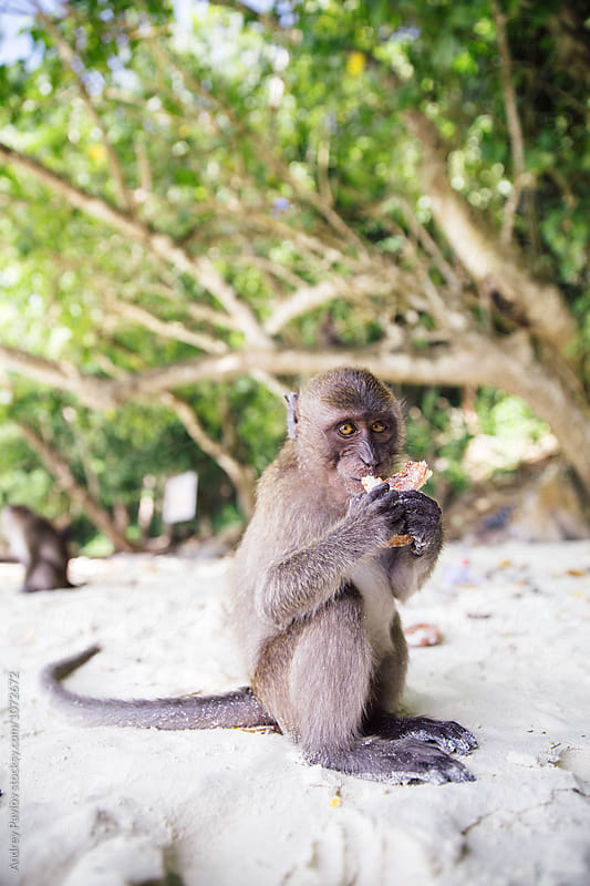 Monkey with food in hands looking at camera by Andrey Pavlov for Stocksy United