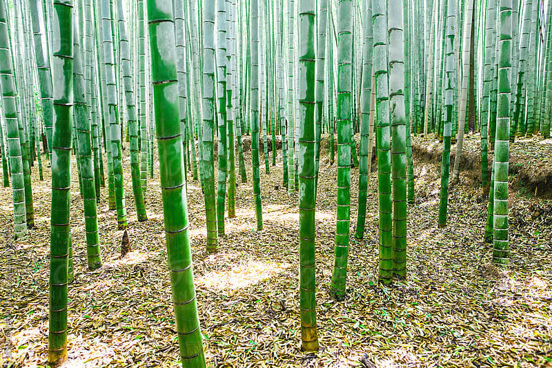 Bamboo forest.  by BONNINSTUDIO for Stocksy United