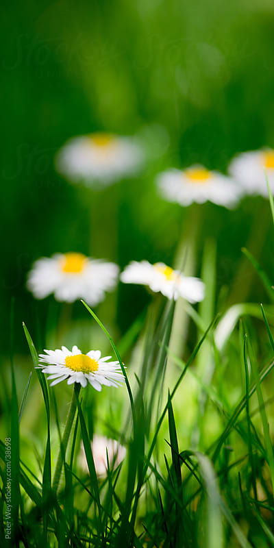 Fresh daisy flowers in spring by Peter Wey for Stocksy United